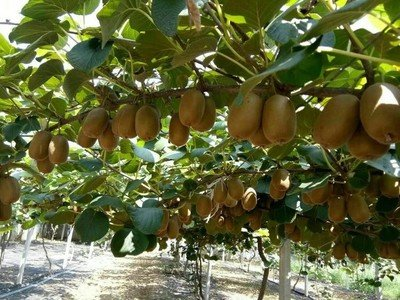 猕猴桃种苗繁育及规范化种植技术
